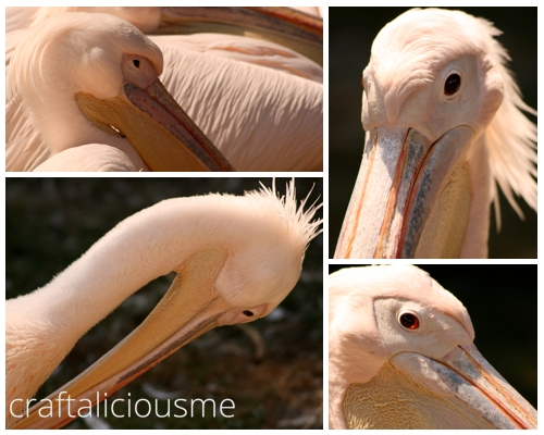 lovely rose creatures / pink pelican at Tierpark Berlin