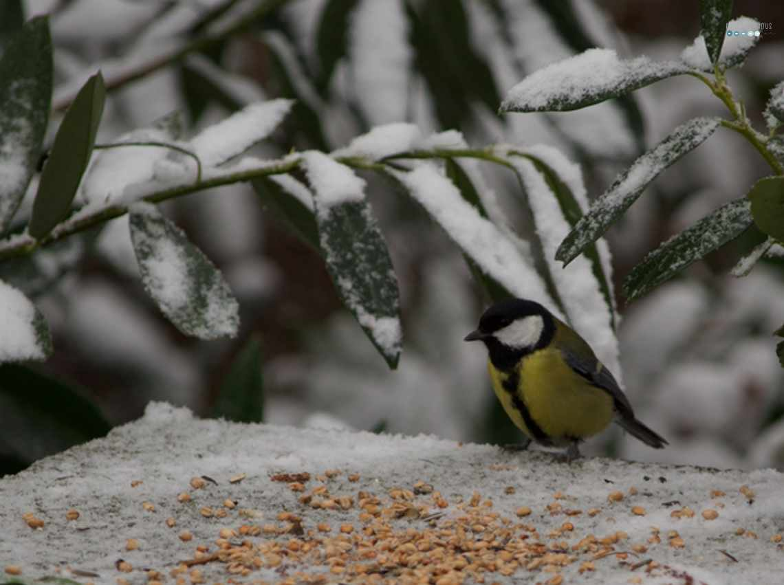 feeding great tit in snow